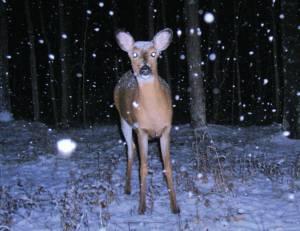 Snowy Doe