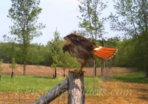 JS Redtailed Hawk